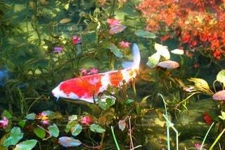 鯉に恋したかもの写真・画像素材[3884747]