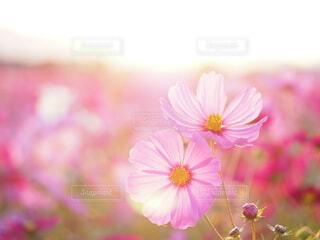 秋桜の写真・画像素材[3855935]