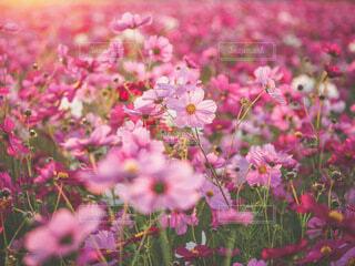 秋桜の写真・画像素材[3856018]