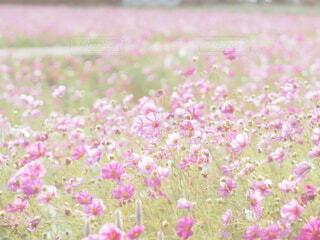 コスモス畑の写真・画像素材[3856041]
