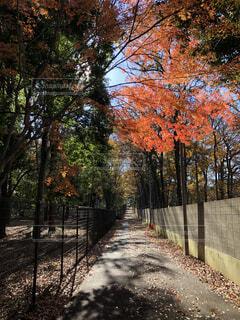 秋の紅葉が始まった小金井公園の木の写真・画像素材[3965353]