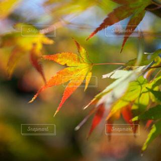 光のあたる紅葉のクローズアップの写真・画像素材[3961957]