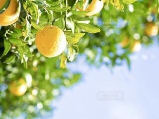 太陽を浴びた黄色の果実が沢山なってるの写真・画像素材[3995223]
