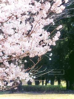 満開の桜の写真・画像素材[4278783]