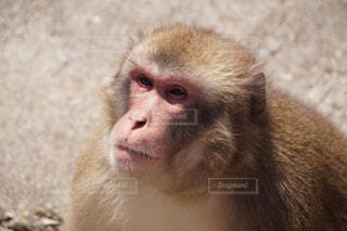 猿の写真・画像素材[162022]
