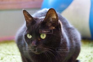 猫の写真・画像素材[162585]