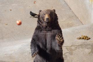 北海道,熊