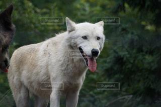 森の横に犬の地位の写真・画像素材[973270]
