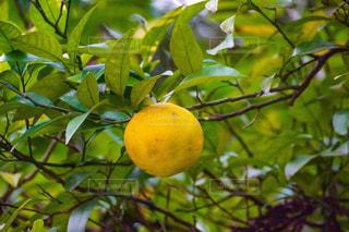 枝からぶら下がって果物の写真・画像素材[1662426]