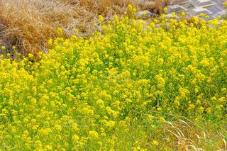 フィールド内の黄色の花の写真・画像素材[1878847]