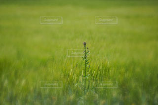草の畑の写真・画像素材[2090379]