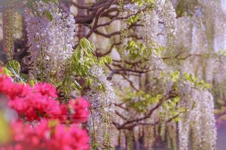 ピンクの花を持つ木の写真・画像素材[2090439]