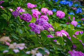 ハルダ・クラガー・ライラック・ガーデンを背景にした花の庭のクローズアップの写真・画像素材[2216346]