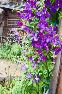 白川郷に咲いていたキレイな花の写真・画像素材[4608328]