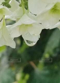 白い花の雨のしずくの写真・画像素材[3989035]