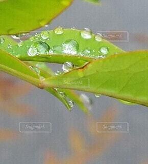 葉っぱの水滴クローズアップの写真・画像素材[3989040]