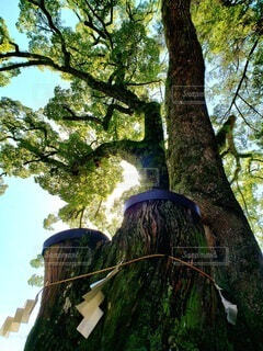 神社の御神木の写真・画像素材[4092382]