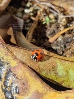 春先のてんとう虫の写真・画像素材[4175483]