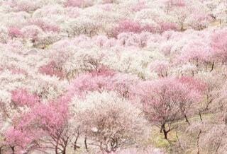 沢山の梅の木々の写真・画像素材[4360588]