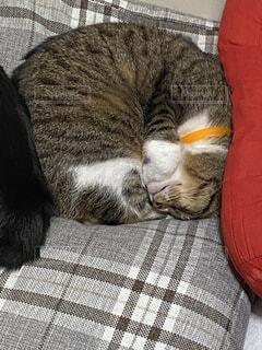 まぁるく眠る猫の写真・画像素材[3876589]