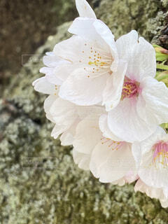 桜の写真・画像素材[4287371]