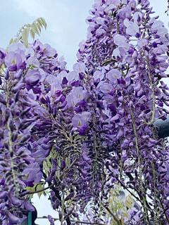 毎年キレイに咲き誇る藤の花の写真・画像素材[4320812]