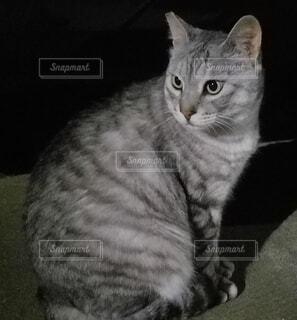 さくら猫の写真・画像素材[3874513]