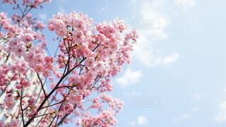 青空と桜の写真・画像素材[3893966]