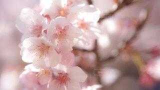 桜のアップの写真・画像素材[3926002]