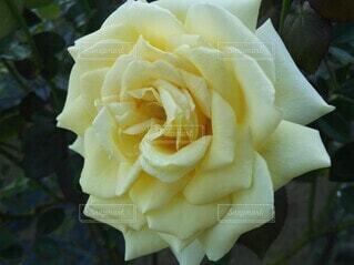 春の日に咲くエレガントな白い薔薇の写真・画像素材[3968539]