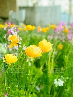黄色い花の写真の写真・画像素材[1364956]