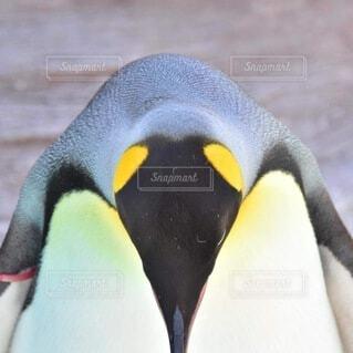 ペンギンのクローズアップの写真・画像素材[3869966]