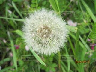 たんぽぽクローズアップの写真・画像素材[3879102]