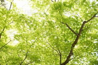 新緑のもみじの写真・画像素材[3915187]