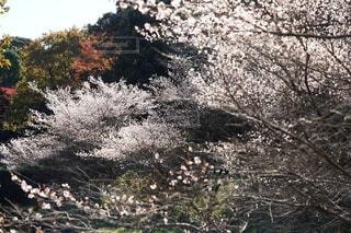 秋の桜の写真・画像素材[3979612]