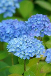 紫陽花の写真・画像素材[4466639]