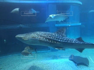 ジンベイザメの写真・画像素材[1551529]