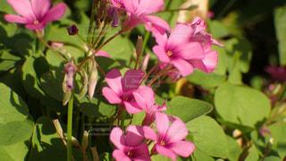 ピンク色の花の写真・画像素材[1569454]