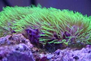 ゆらゆら珊瑚の写真・画像素材[1586045]