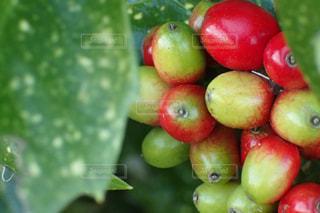 庭の赤い木の実の写真・画像素材[1590924]