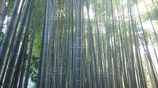 竹林の写真・画像素材[3881837]