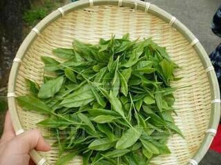 摘みたての茶葉の写真・画像素材[3881836]