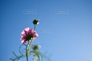 青空に向かって咲くコスモスの写真・画像素材[3887574]