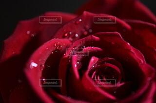 雫をまとった真紅の薔薇の写真・画像素材[3905855]