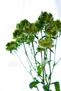 窓辺に飾られたグリーンの薔薇の写真・画像素材[3906269]