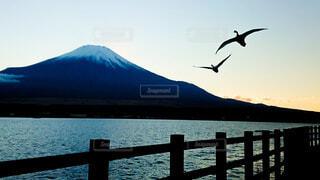 富士山をバックに翔ぶ白鳥の写真・画像素材[3907186]