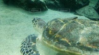 海底を泳ぐウミガメの写真・画像素材[3896460]