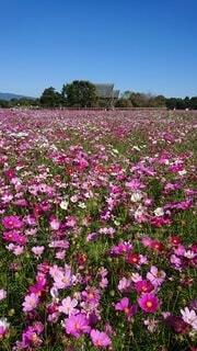 美しいコスモス畑の写真・画像素材[3888946]