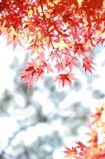紅葉の葉素材の写真・画像素材[3893133]