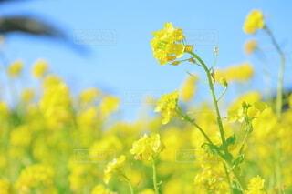 青空と菜の花畑の写真・画像素材[3893231]
